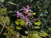 Epimedium grandiflorum 'Wildside Red'