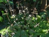 Epimedium pubescens (early flowering)