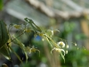 Epimedium acuminatum Yellow Flowered Form