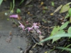 Epimedium grandiflorum similar to  'Tam No Gempei'