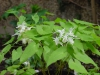 Epimedium grandiflorum 'White Queen'