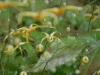 Epimedium 'Path Finder'