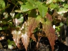 Epimedium 'Path Finder' new foliage indicating possible male parent of E.wushanense 'Caramel'