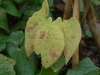 Epimedium species from Jainxi -new leaves - from Edrum Nurseries