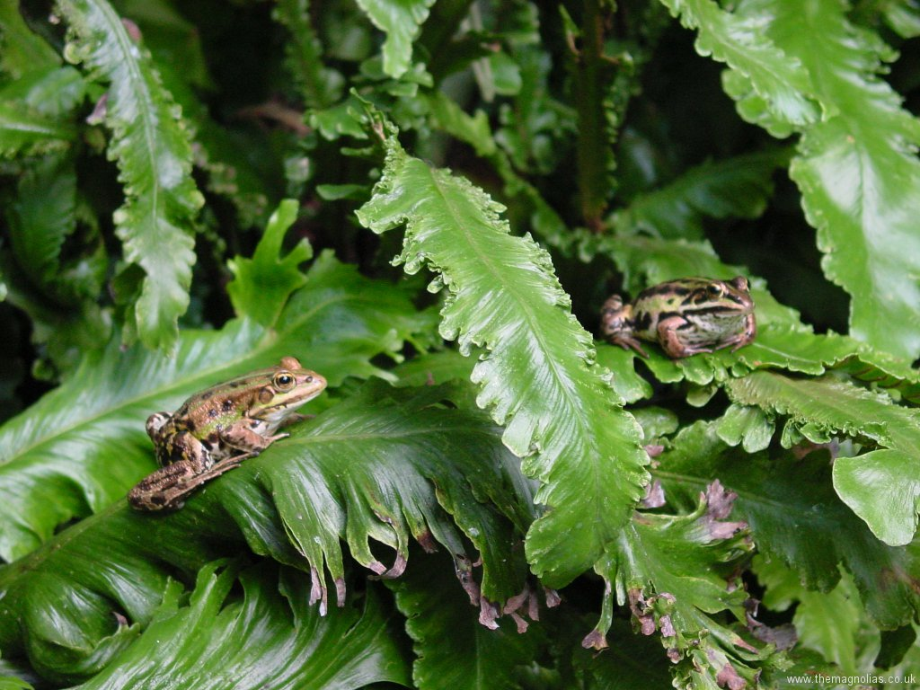 Asplenium scolopendrium Ferns in Amphibian House with Pool Frogs