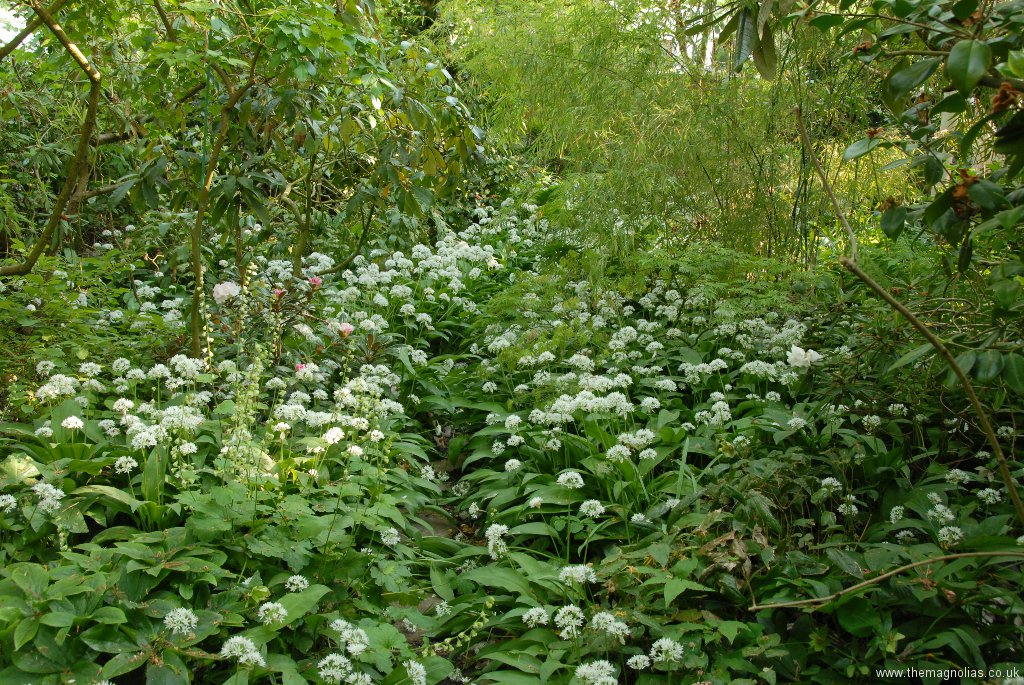 A Carpet of Wild Garlic in Spring
