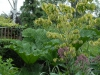 Cornus florida \'Rainbow\' and Gunnera manicata in a large pot
