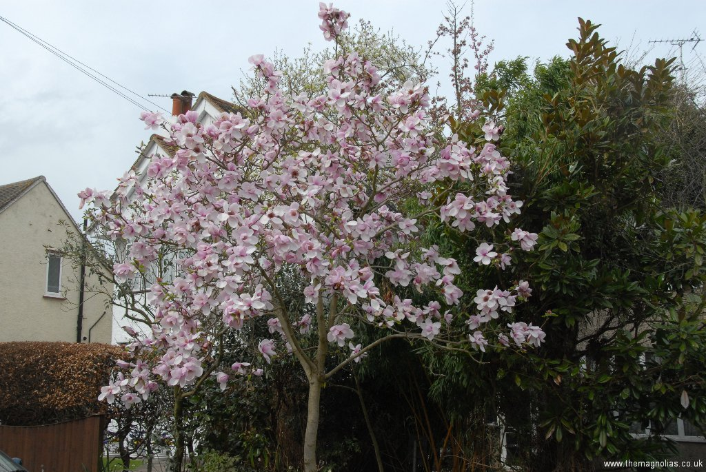 Magnolia \'Iiolanthe\' on grass verge