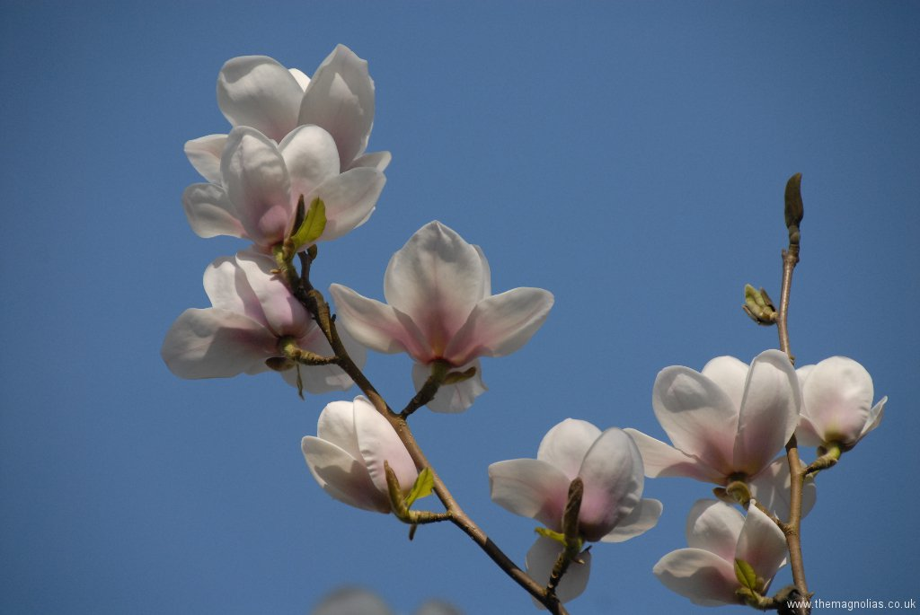 Magnolia \'Milky Way\'