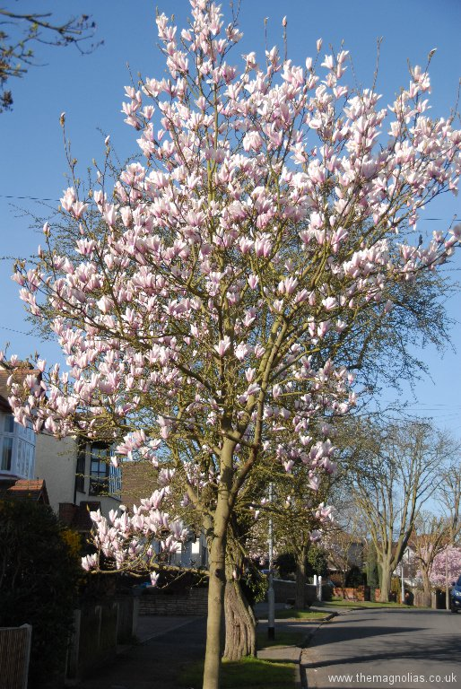 Magnolia \'Peppermint Stick\'. Planted by us across the road.
