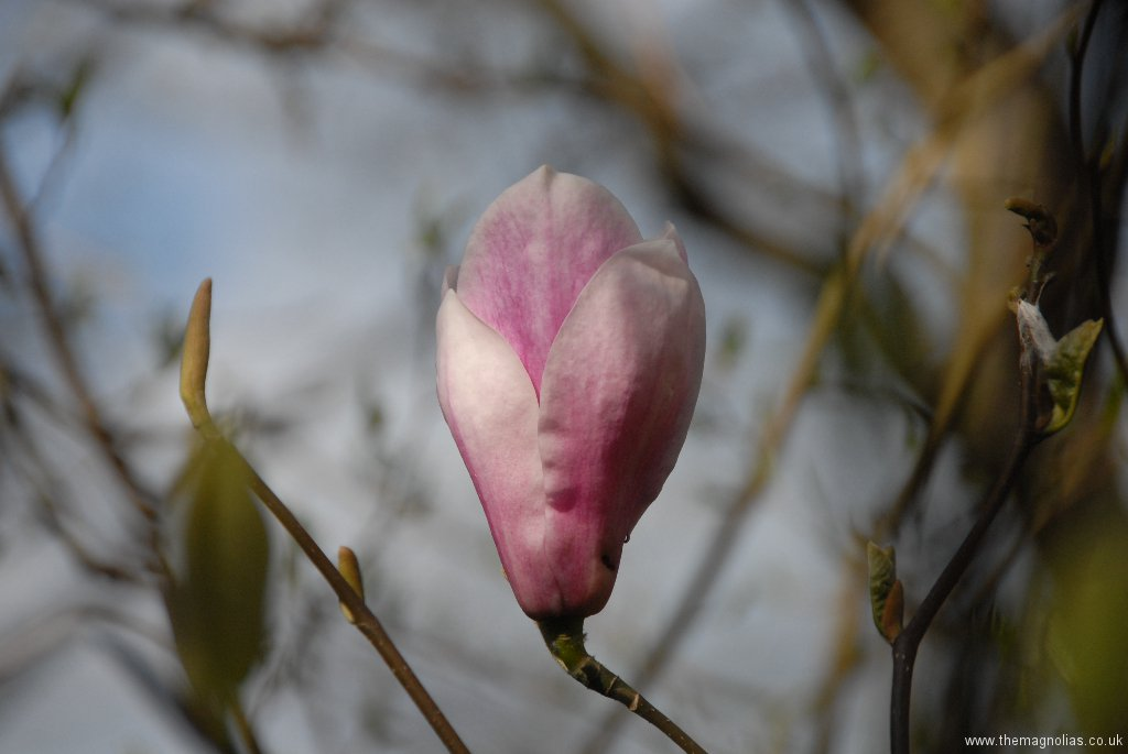 Magnolia \'Peter Smithers\'