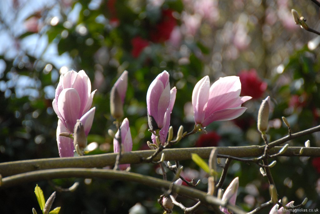 Magnolia x soulangeana 'Rose Superb'