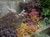 Sleeper Bed with Japanese Maples And Heuchera