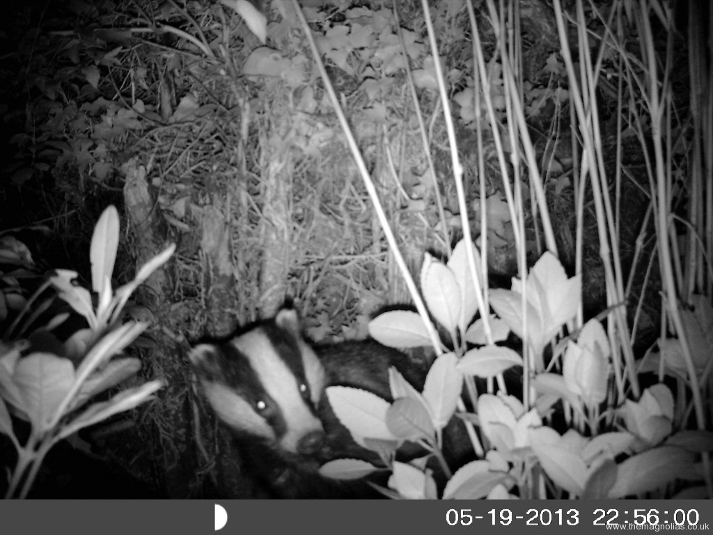 Badger on \'Outback Cam\'