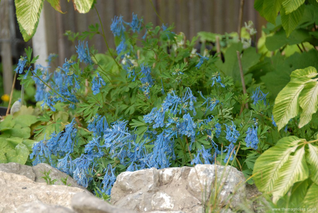 Corydalis 'Tory MP'