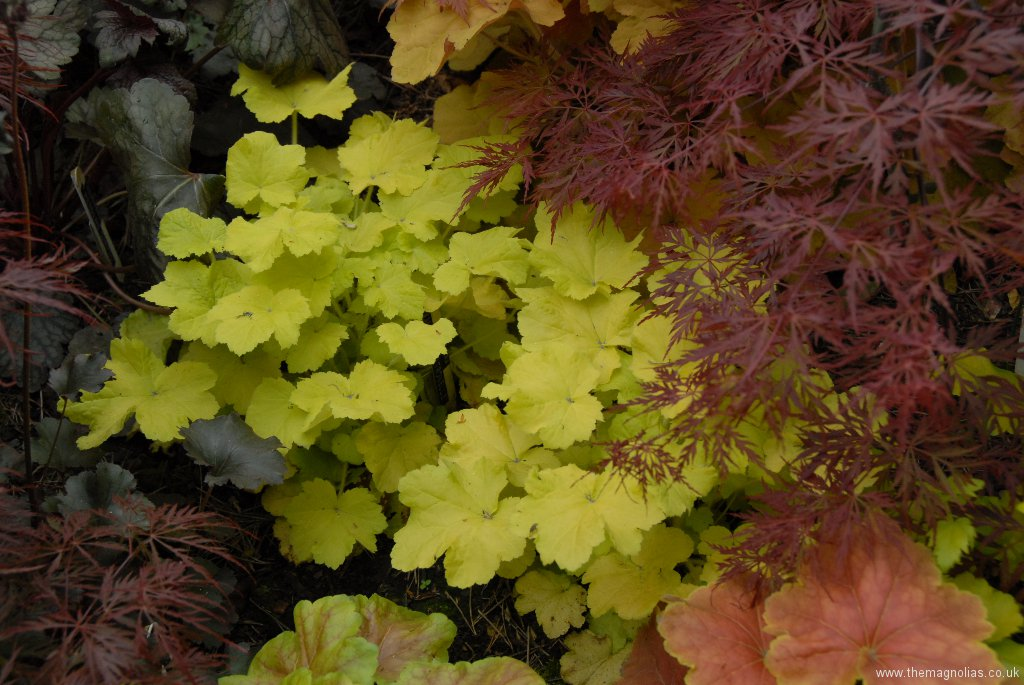 Heuchera and Japanese Maples