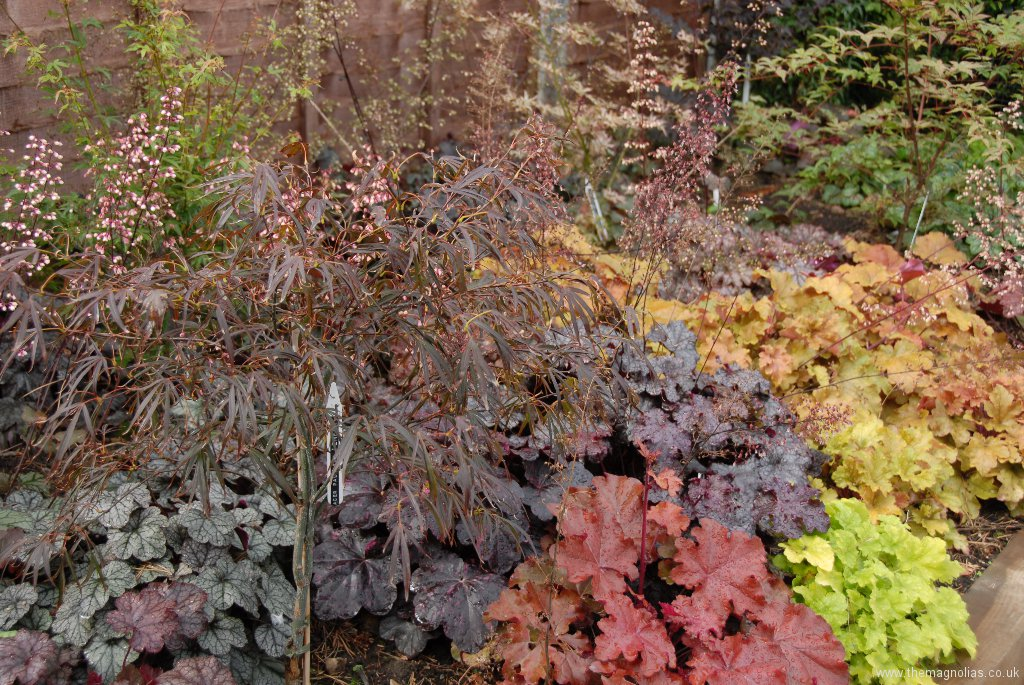 Heucheras and Japanese Maples