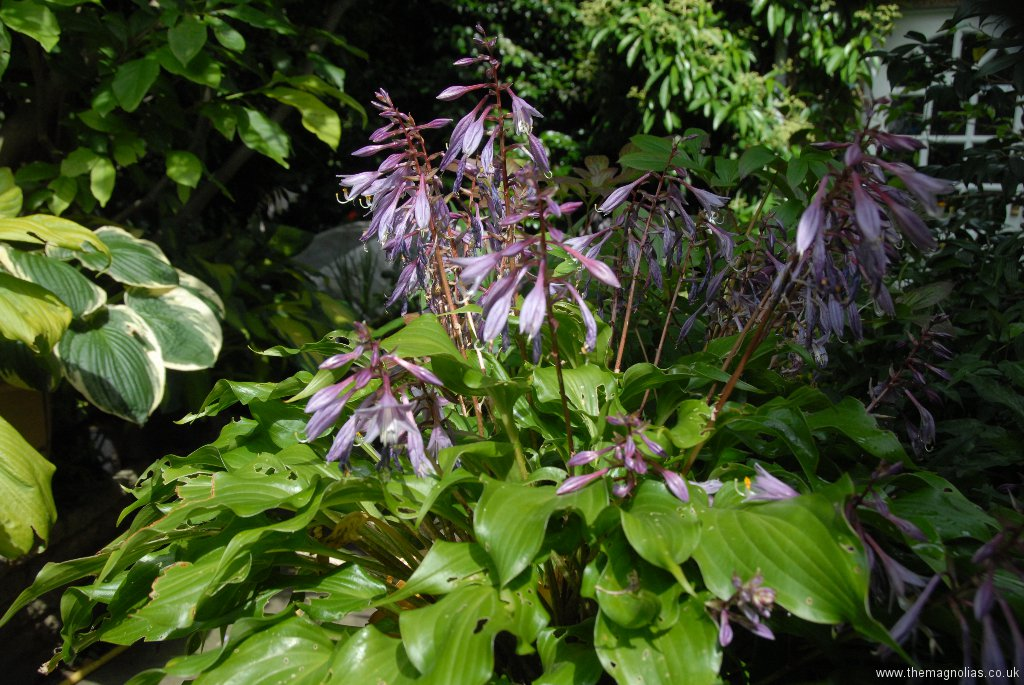 Hosta with purple petioles and flower stems