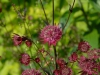 Astrantia 'Ruby Star'