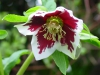 Helleborus orientalis white with red blotch