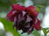 Helleborus orientalis double plum-red