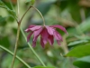 Helleborus orientalis double red
