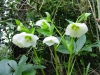 Helleborus orientalis good white