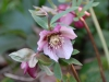 Helleborus orientalis pink with darker veining