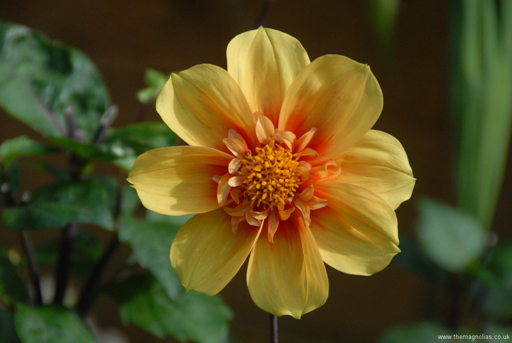 Dahlia bought as 'Topmix Orange'