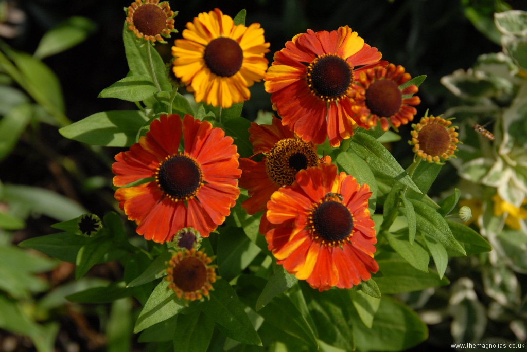 Helenium 'Sahins Early Flowerer'