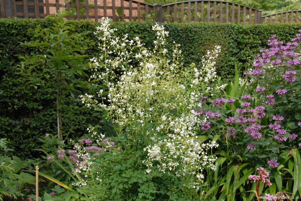 Thalictrum delavayi \'Album\'