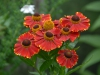 Helenium 'Red- Jewel'