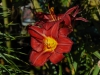 Hemerocallis 'Berlin Red'