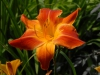 Hemerocallis 'Red Twister'