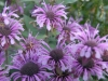 Monarda \'Beauty of Cobham\'