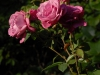 Rosa 'Romeo and Juliet'