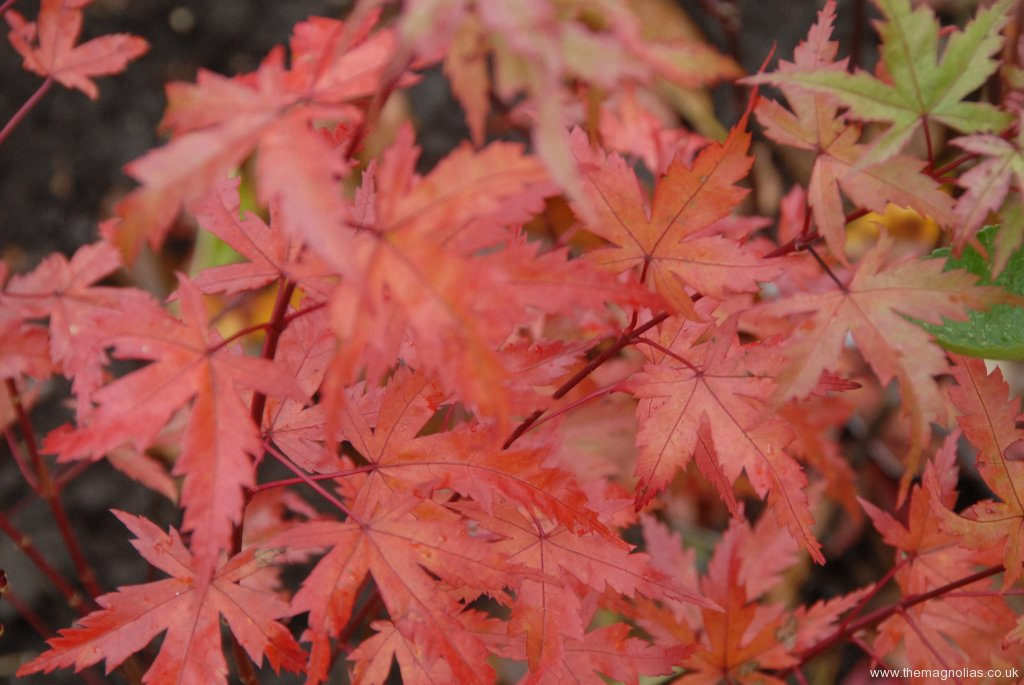 Acer palmatum 'Coral Pink' autumn colour