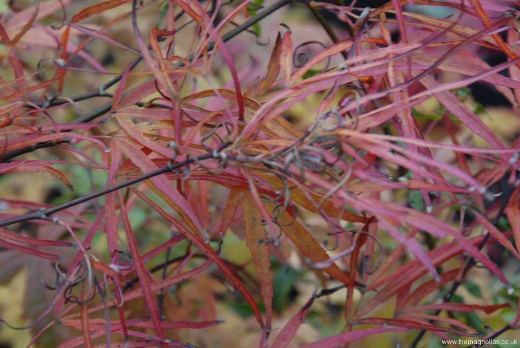 Acer palmatum 'Cripsii' autumn colour
