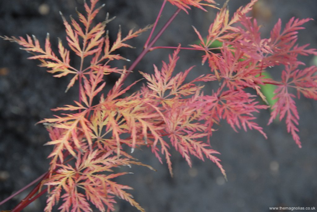 Acer-palmatum 'Emerald Lace' autumn colour