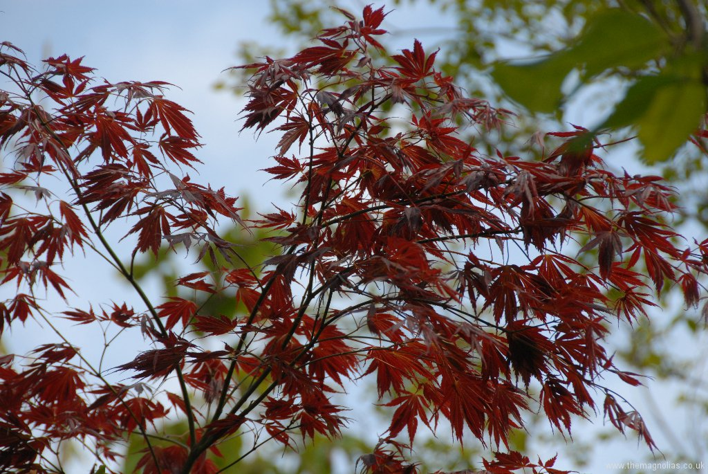 Acer palmatum heptalobum group 'Elegans Purpureum'