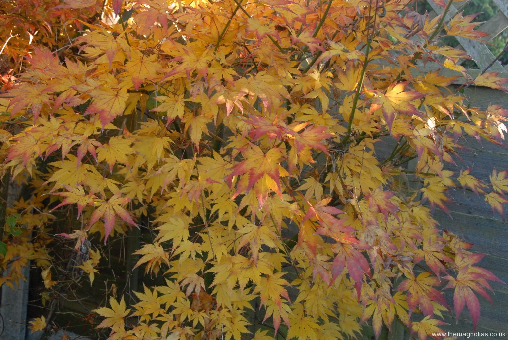 Acer Palmatum 'Orange 'Dream' autumn colour