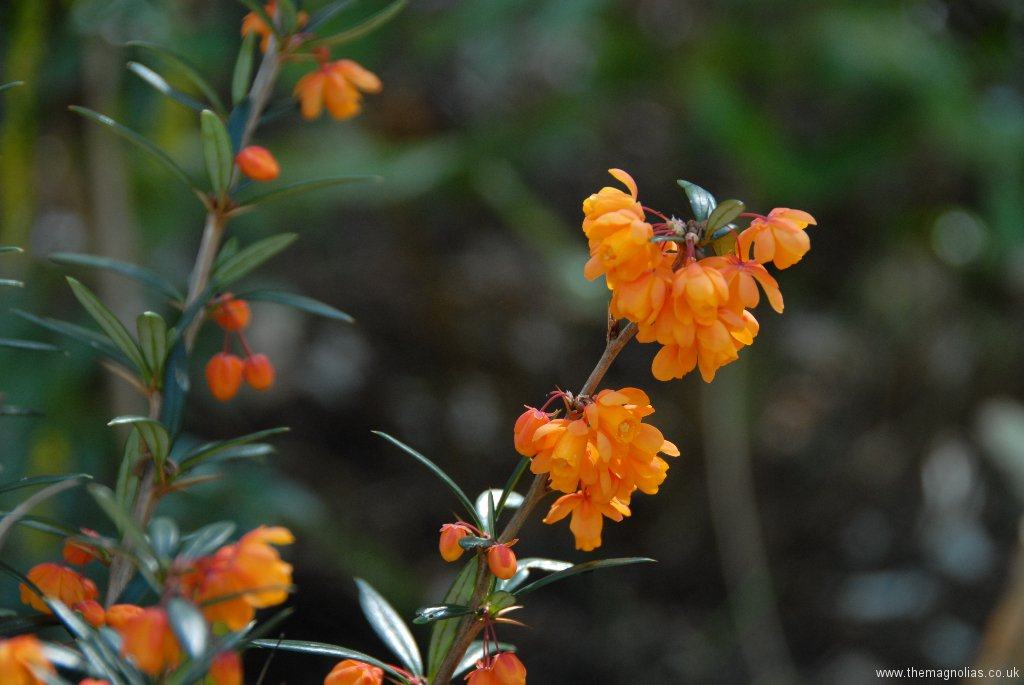 Berberis linaerifolium \'Orange King\'