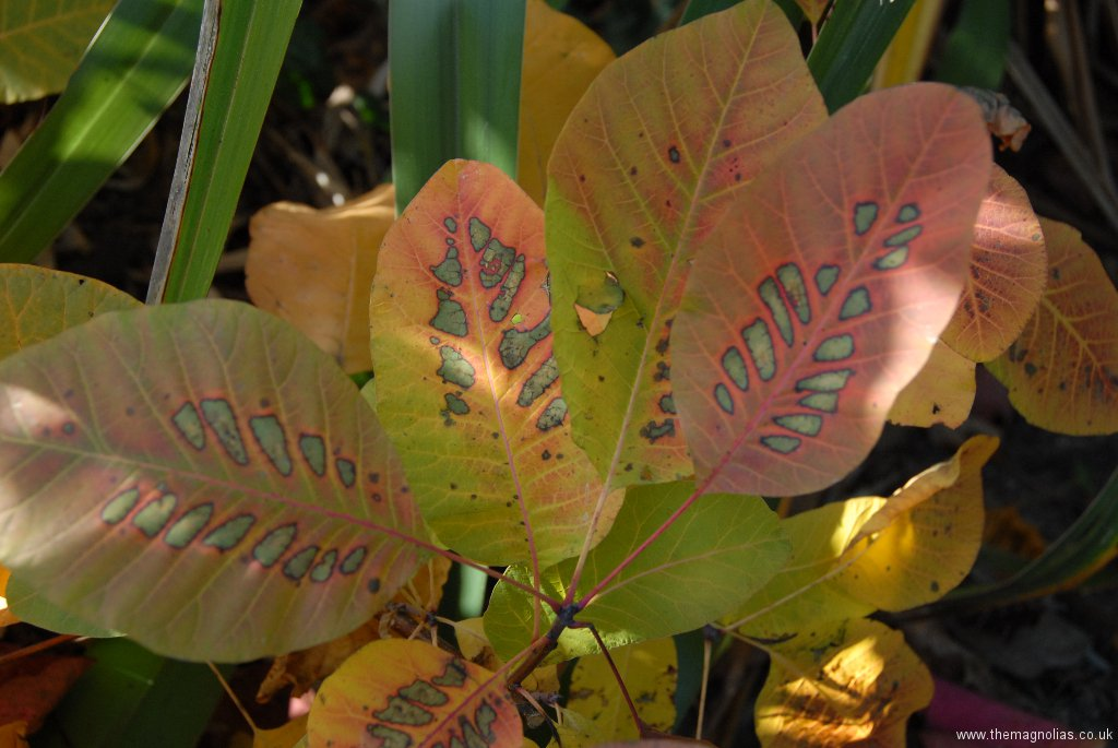 Cotinus \'Grace\'
