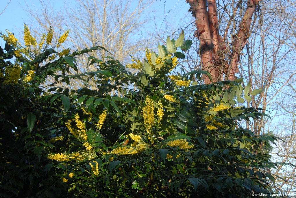 Mahonia x \'Winter Sun\'
