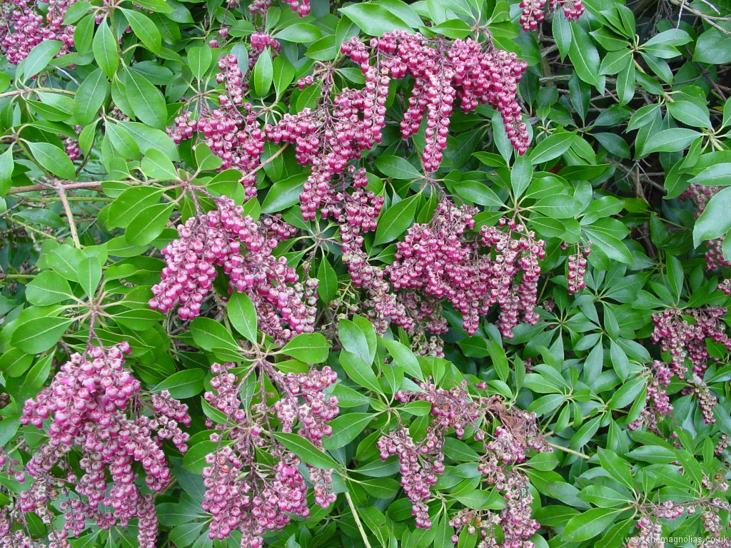Pieris japonica \'Valley Valentine\'
