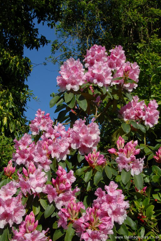 Rhododendron \'Pink Pearl\'