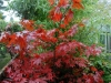 Acer palmatum 'Okagami' autumn colour