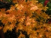 Acer palmatum 'Heptalobum Elegans' autumn colour