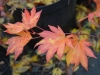 Acer palmatum 'Omurayama' autumn colour