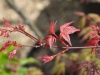 Acer palmatum- 'Sishio Improved' - spring